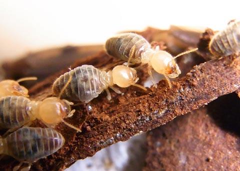 termite workers