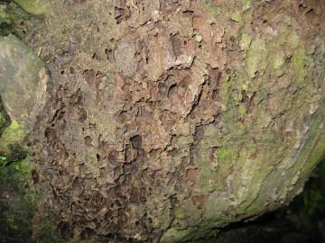 arboreal-termite-nest