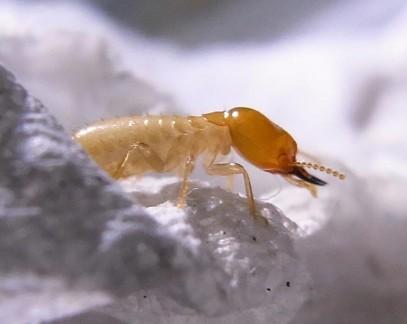 Asian Subterranean Termite - Coptotermes gestroi