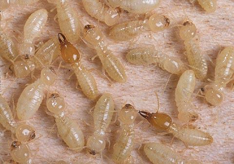 Formosan termites (Coptotermes formosanus).