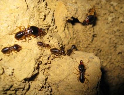 Macrotermes carbonarius termite castes
