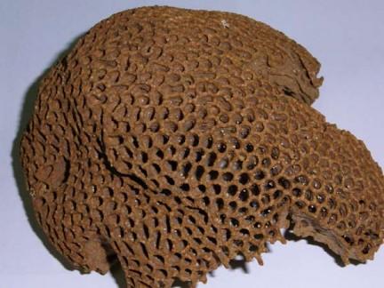 Macrotermes gilvus fungus comb