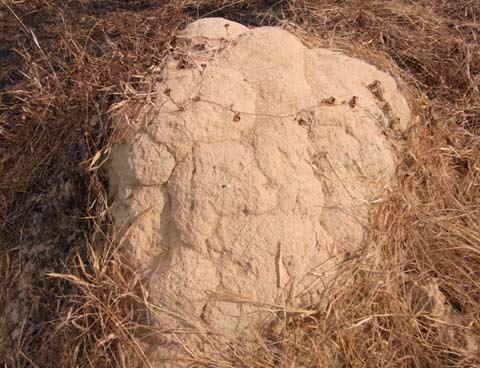 Macrotermes gilvus mound