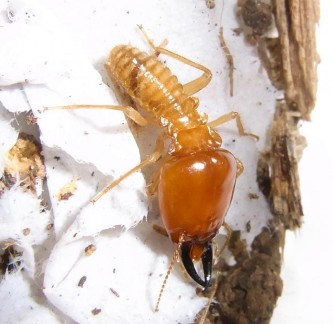 A major termite soldier of M. malaccensis