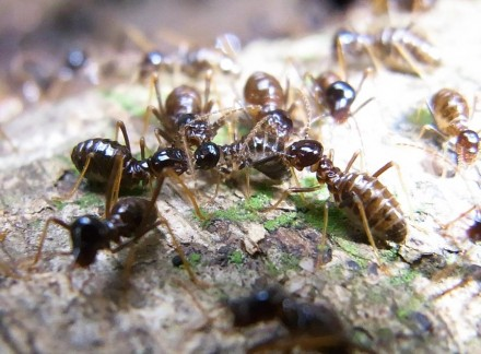 (Above) Dramatic photo I took of Hospitalitermes umbrinus workers in the process of devouring a wounded compatriot. Being seriously wounded in a termite colony means certain death, as you will get devoured.
