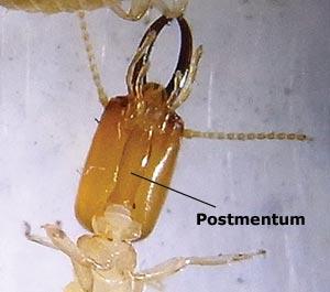 Termite soldier anatomy