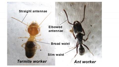 (Above) Termite identification - What do termites look like compared to ants; the main differences.