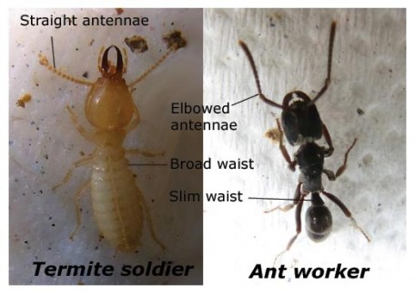 (Above) Termite identification - This time with a termite soldier as comparison. Ants are all generally regarded as workers without such caste specialization.