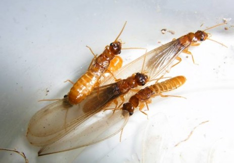 (Above) Alates belonging to a Coptotermes species, with or without wings.