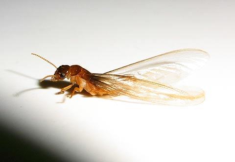 Flying termite detaching its wings.