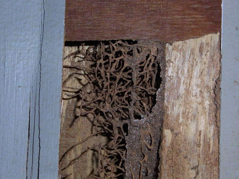 (Above) A close up view of the same door, revealing extensive termite damage. The termites have remodelled the wood inside and all that is left is a skeletal latticework.