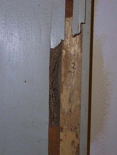 (Above) This door has already been severely damaged by Coptotermes termites. Peeling away the surface reveals the handiwork of the termites.