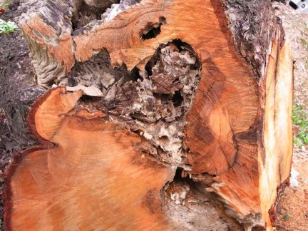 (Above) Termite damage inside a tree, which only becomes obvious when the trunk is sawn.