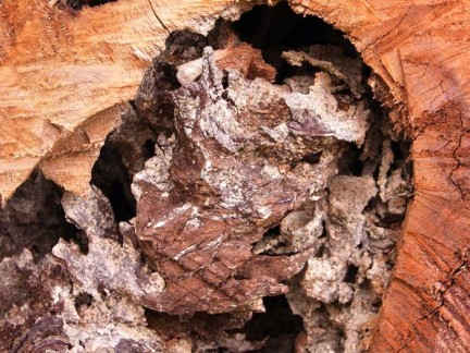 Close up view of termite damage inside a tree trunk.