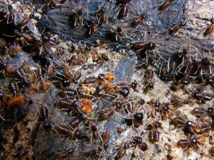 Longipeditermes longipes termite column