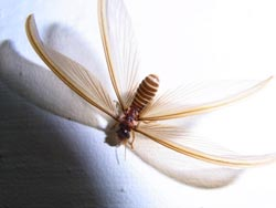 Flying termite female