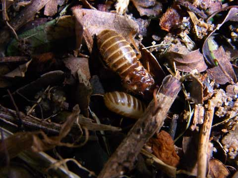 Flying termite pair digging into the ground