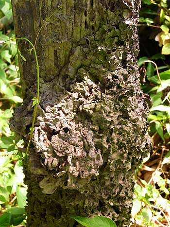 Microcerotermes nest