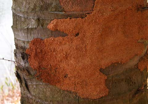 Termite mud covering