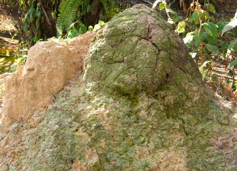 Two termite mounds in one