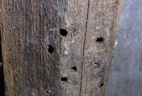 Wood borer beetle damage