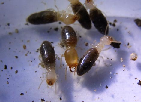 Termites Without Wings