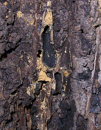 Amitermes dentatus nest