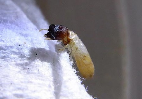Drywood termite soldier