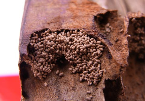 Drywood termite droppings
