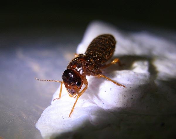 Termites king
