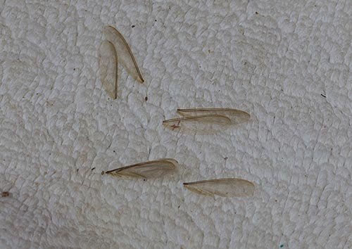 how to get rid of swarmer termites