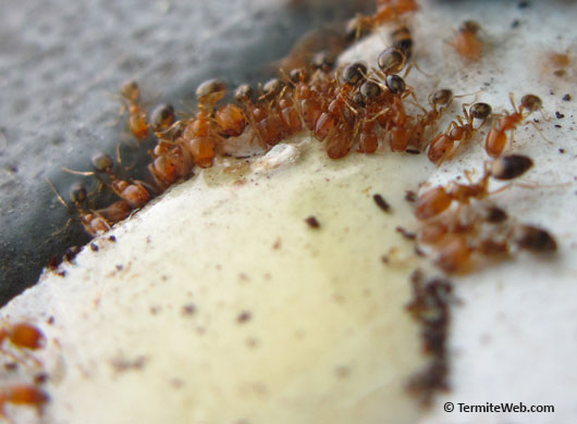 ants feeding on bait containing boric acid
