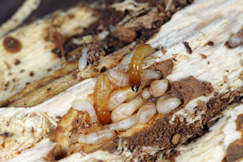 kalotermes drywood termites